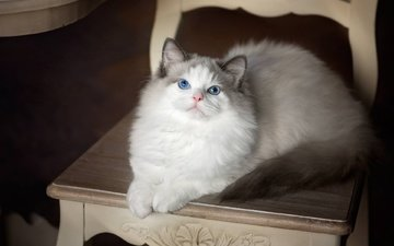 кошка, взгляд, стул, голубые глаза, рэгдолл