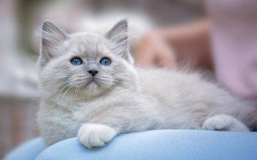 мордочка, усы, лапы, кошка, взгляд, котенок, голубые глаза, рэгдолл