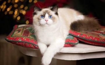 подушки, кошка, взгляд, голубые глаза, лапки, рэгдолл
