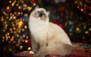 подушки, портрет, кошка, красавица, голубые глаза, боке, рэгдолл