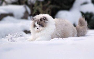 снег, зима, кошка, пушистая, рэгдолл