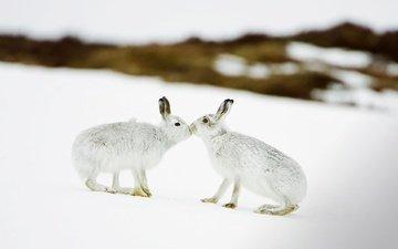 снег, зима, зайцы, шотландия, заяц белый