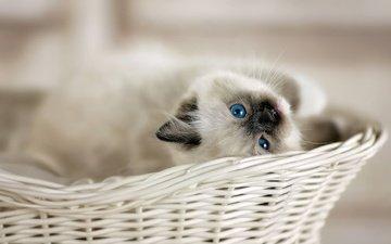 взгляд, котенок, корзина, малыш, голубые глаза, боке, рэгдолл