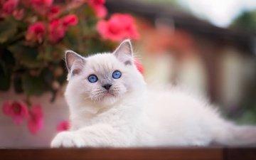 взгляд, котенок, малыш, голубые глаза, боке, рэгдолл