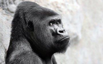 взгляд, обезьяна, горилла, примат