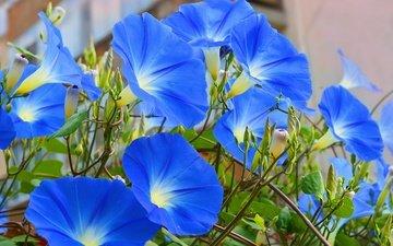 цветы, голубые, голубые цветы, ипомея