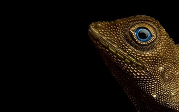 ящерица, рептилия, earless agamid, aphaniotis fusca