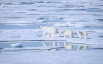 water, snow, reflection, bears, floe, polar, polar bears