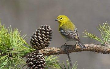 ветка, птица, шишки, сосна, сосновый лесной певун
