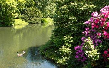 природа, парк, кусты, пруд, германия, утки, рододендрон