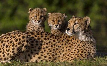 animals, family, wild cats, kittens, cheetah, cheetahs