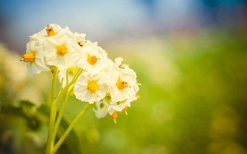 природа, цветение, макро, цветок, лето, картофельный цвет
