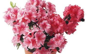 розовый, рододендрон
