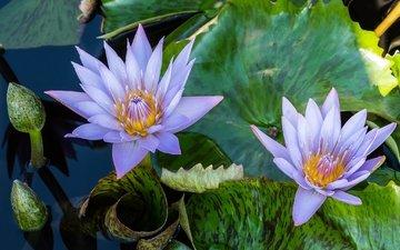 цветы, вода, бутон, сиреневый, нимфея, водяная лилия