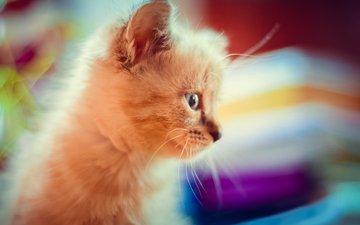 макро, кошка, котенок, пушистый, милость, красивый котик