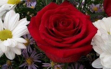 цветы, обои, макро, розы, крупный план, хризантемы, ромашек, цветы, маргаритки, валлпапер, роз, chrysanthemums