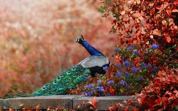 цветы, птица, павлин, хвост, боке