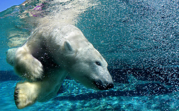 вода, медведь, пузыри, под водой, белый медведь