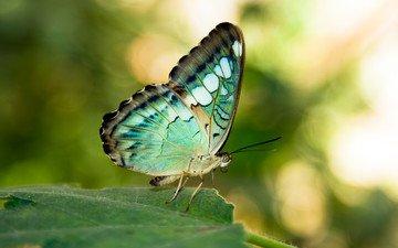 листок, бабочка, крылышки, листья, грин