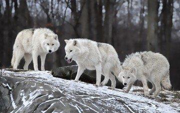 снег, природа, волки, волк