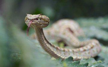 snake, language, sting, viper, reptiles