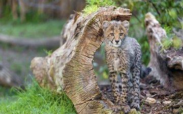 животные, ствол, бревно, гепард, дикая кошка, детеныш