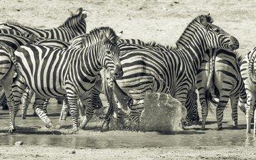 природа, животные, чёрно-белое, африка, зебры, млекопитающие, prophil newton