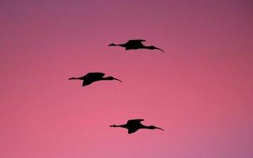 nature, birds, usa, silhouette, fl, pink background, melbourne, ibis