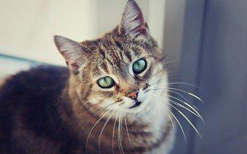 глаза, фон, портрет, кот, усы, шерсть, кошка, смотрит