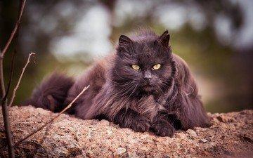 животные, кот, кошка, взгляд, пушистый, черный