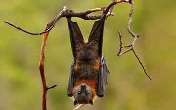 background, paws, branches, wings, bat, mammal, bats, siberian, flying fox
