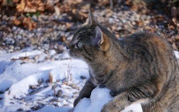 снег, кот, кошка, полосатый