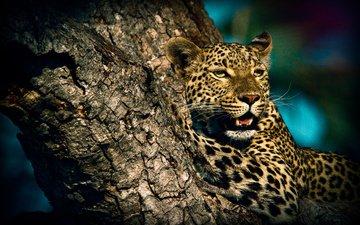 животные, леопард, хищник, дикая кошка