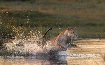 животные, кошка, брызги, прыжок, лев, охота, львица, хищница
