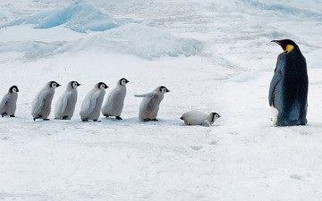 птицы, пингвин, антарктида, пингвины, антарктика, птенцы, императорский пингвин, сноу-хилл-айленд