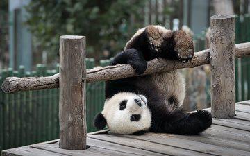 животные, панда, забор, мишка, зоопарк