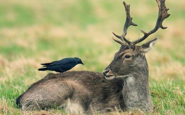 nature, deer, animals, bird, crow