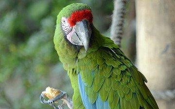 природа, птица, клюв, попугай, птаха