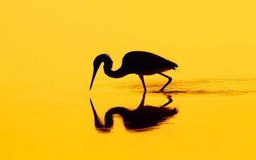 отражение, птица, силуэт, цапля