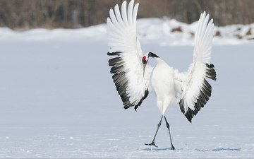 snow, winter, wings, bird, dance, crane, japanese