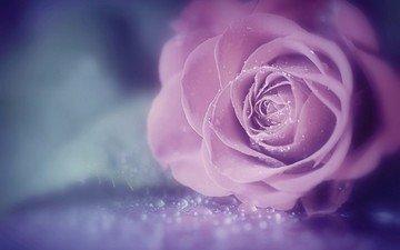 цветок, роза, красивая, капли воды