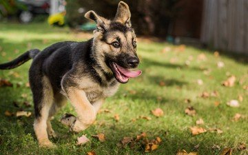 grass, leaves, dog, puppy, language, running, german shepherd, pet