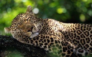 животные, леопард, дикие кошки, спящий леопард