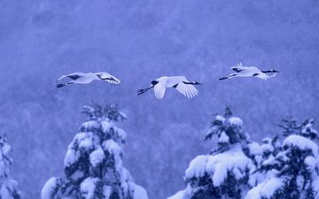 nature, winter, birds, crane, japanese