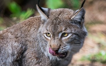 face, lynx, animals, predator, language, wild cat, licked