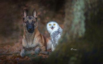 owl, dog, bird, malinois, belgian shepherd