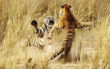 тигр, животные, борьба, драка, тигры, бой тигров