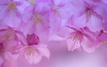 flowers, flowering, macro, petals, spring, cherry, sakura