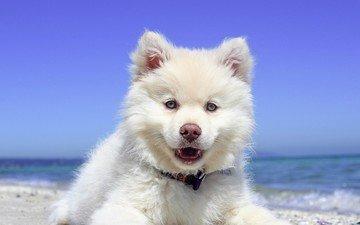 природа, пейзаж, море, пляж, собака, щенок, самоед