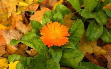 листья, цветок, осень, оранжевый, осен, календула, листья, orange flower